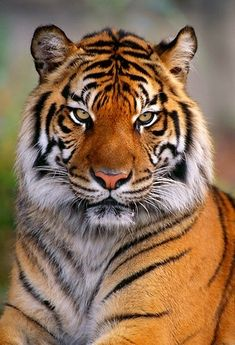 Wow, what a majestic tiger.Do you love wildanimals, pets, birds, check for more amazing content. Beautiful Cats, Animals Beautiful, Cute Animals, Baby Animals, Tiger Fotografie, Tiger Pictures, Art Pictures, Big Cats Art, Pet Tiger