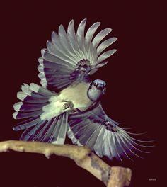 Blue Jay - photo by R. W. Scott