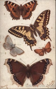 butterfly illustration