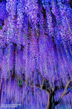 purple curtain - null