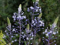 Scilla hyacinthoides 'Blue Arrow' 75cm