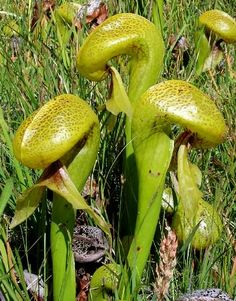 "Darlingtonia spp., commonly called the ""cobra lily."" love this aptly named carnivorous plant."