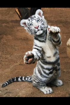 Baby White Tiger (Back Light Down)