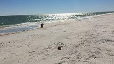My girl Annie @annierochediaries is loving her freedom at the beach!! #poodlesofinstagram #runningfree https://video.buffer.com/v/58effce786f604626eb3cb11