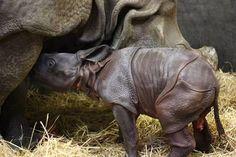 Un bébé rhinocéros indien voit le jour au Zoo de Toronto