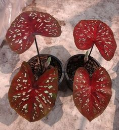 """Caladium 1 Bulb, Queen of the Leafy Plants, """"Ratripradapdao"""" Colourful Tropical From Thailand. Caladium /kəˈleɪdiəm/ is a genus of flowering plants in the family Araceae. Many are sold as Caladium × hortulanem, a synonym for Caladium bicolor. Leafy Plants, Foliage Plants, Indoor Plants, Tropical Garden, Tropical Plants, Container Plants, Container Gardening, Caladium Garden, Belle Plante"""