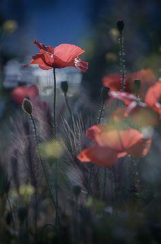 """- iryna - """"Entre les champs et le long des routes. Meadow Flowers, Wild Flowers, Flower Pictures, Flower Wallpaper, Botanical Illustration, Vintage Flowers, Pretty Flowers, Belle Photo, Champs"""