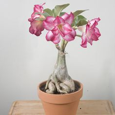 Desert Rose 'Giant' (Adenium obesum hybrid)