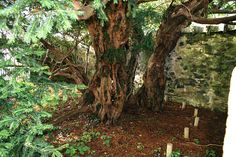 In a rare occurrence, the Fortingall Yew Tree, thought to be one of the oldest trees in Europe, has transformed itself from male to female. After thousands of years of generating the pollen buds, the tree sprouted three red berries on one of its branches.
