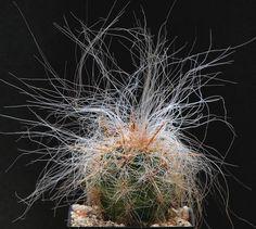 http://myjunglegarden.com/2012/08/oreocereus-celsianus/    #gardening #cacti    Click image to read the post.