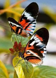 Essence of a woman Madame Butterfly, Butterfly Kisses, Butterfly Flowers, Butterfly Wings, Beautiful Bugs, Beautiful Butterflies, Amazing Nature, Beautiful Creatures, Animals Beautiful