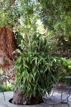 Venice Garden Home Tour May12_staghorn fern by Tiffin Unboxed, via Flickr