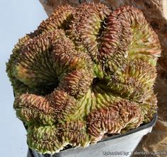 Euphorbia meloformis f. cristata