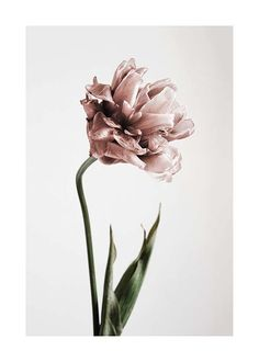 Pink Tulipe no1 Poster in the group Posters & Prints at Desenio AB (2119)