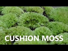 Cushion Mosses Plants for sale online - Lowest Prices!