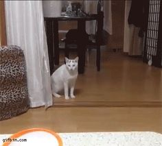 Cat walking to the table. Gif Bin is your daily source for funny gifs, reaction gifs and funny animated pictures! Large collection of the best gifs. I Love Cats, Cute Cats, Funny Cats, Kittens Cutest, Cats And Kittens, Cats Are Assholes, Walking Animation, Gifs, Cat Boarding