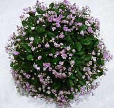Houseplants That Filter the Air We Breathe Cirelda - Best Trailing African Violet Other Than Grand Champion Little Plants, All Plants, Indoor Plants, Indoor Gardening, Violet Plant, Plant Bugs, Saintpaulia, Sweet Violets, Desert Plants