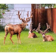 Durango Deer    @VisitDurango Instagramer @shelovescolorado