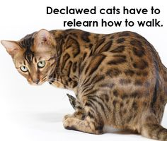 8 Reasons Why You Should Never Declaw Your Cats |  Our toes are crucial to our balance, and it's no different for cats! Because of impaired balance after the procedure, declawed cats have to relearn how to walk, much as a person would after losing his or her toes.