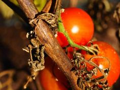 Tomatenfäule – Nur Gärtnern …