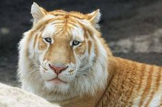 What an interesting face he has.... Golden Bengal Tiger By Dirk Daniels