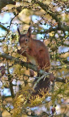 Red squirrel with amazing ear tufts.