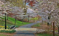 A beautiful capture by Allen Beatty of a location  in Newark, NJ (Branch Brook Park) famous for its lovely cherry blossoms. #SimplyJersey