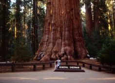 Image detail for -grandson byron shock at base of giant sequoia in sequoia national park ...