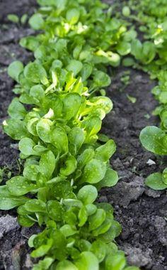 Die ersten Gartensorten des Feldsalats wurden vor 100 Jahren gezüchtet. Seitdem hat das Ackerwildkraut eine steile Karriere gemacht und gilt heute als Delikatesse. Seine nussigen Rosetten haben im Herbst Hochsaison.