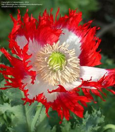 Bloom for May 6, 2012: feathered poppy (Papaver somniferum) Danish Flag.  Photo by AnnieHayes.