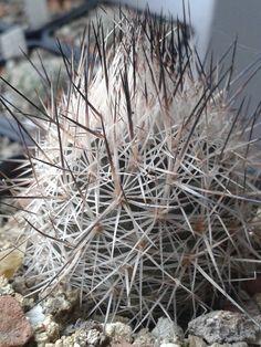 Rapicactus beguinii ssp. beguinii