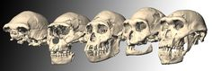 The significant variation among five hominid skulls from Dmanisi, as shown in this computer-drawn rendering, has led some experts to argue the skulls represent more than one species from the genus Homo.