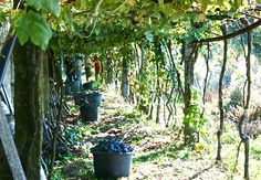 Harvest is truly one of the best experiences... so much excitement and anticipation as the you begin a new vintage