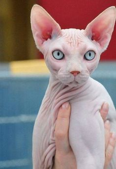 Top 10 Unusual Cat Breeds - the Sphynx - which is NOT Fluffiecat at all! Cute Kittens For Sale, Cute Cats And Dogs, I Love Cats, Crazy Cats, Cool Cats, Kittens Cutest, Cats And Kittens, Big Cats, Cats Bus