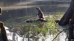 Coon riding alligator.