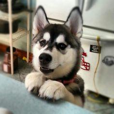 Husky ♡