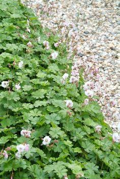 Geranium cantabrigiense 'Biokovo' (Ooievaarsbek) | Tuinwinkel.nl