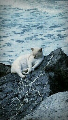 Relaxing by the sea.wish kitty had something softer than a rock to sleep on Pretty Cats, Beautiful Cats, Animals Beautiful, Cute Animals, Crazy Cat Lady, Crazy Cats, I Love Cats, Cool Cats, Gatos Cats