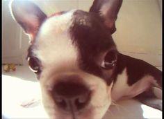 my Boston Terrier puppy by Bernat Motjer i Albertí