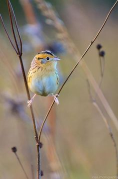 looks like he is about to do the splits.           Le Conte Sparrow by Visu Nandakamur