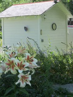 Fragrant tree lilies in front of the re-purposed chicken coupe.  (Prospect Valley Hospitality renovated historic 1872 property, Wheat Ridge, Colorado, USA)