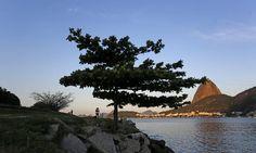 A amendoeira integra a paisagem do Aterro do Flamengo Foto: Custódio Coimbra / Agência O GLOBO