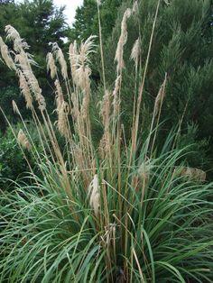 Austroderia fulvida syn. Cortaderia fulvida - The Native Plant Centre