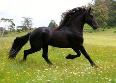 In memoriam of Friesian Tyrus fan Bosksicht - Berkley Friesian Horse Stud. © Nadeen