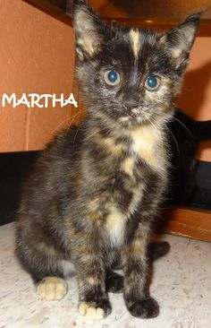 UPDATE-ADOPTED! AVAILABLE NOW! STRAY Tag# 4157 Name is Martha  Torti  Female-not spayed  Approx. 10 weeks old   https://www.facebook.com/267166810020812/photos/a.717171005020388.1073742072.267166810020812/719254921478663/?type=3&theater