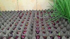 Skvelý spôsob, ako celoročne pestovať cibuľu v byte Growing Onions, Growing Plants, Vegetable Garden Design, Small Garden Design, Fruit Garden, Garden Seeds, Summer House Garden, Farm Gardens, Easy Garden