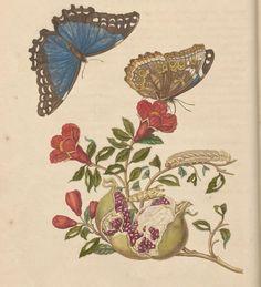 Lezing dr. Bert van de Roemer: Maria Sibylla Merian en de geschiedenis van het verzamelen | Cromhouthuis