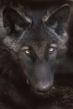Black Wolf... How in the world can anybody hurt or kill such a beautiful animal as this beats the hell out of me!!!