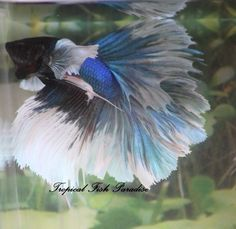 Blue Iridescent Dumbo/Big Ear/Elephant Ear Halfmoon HM Imp Male Betta Fish#HMDBL