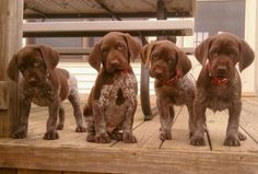Oh goodness! I may need a whole new board just for German Shorthaired Pointers.